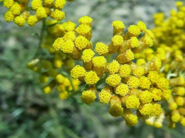 elicriso_fiori_2